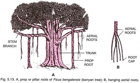 banyan diagram