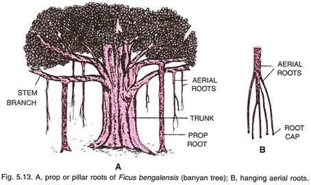 banyan diagram